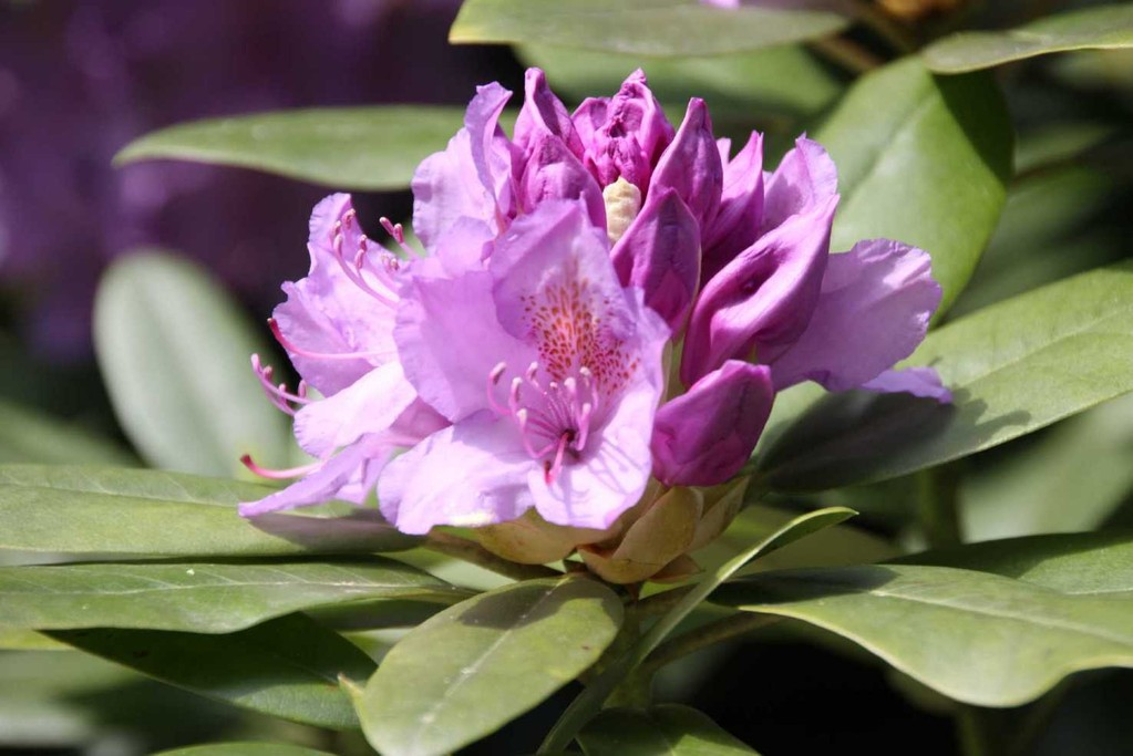 0246_19 Mai 2012_Rhododendron_Blüte