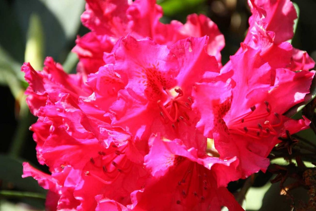 0216_19 Mai 2012_Rhododendron_Blüte