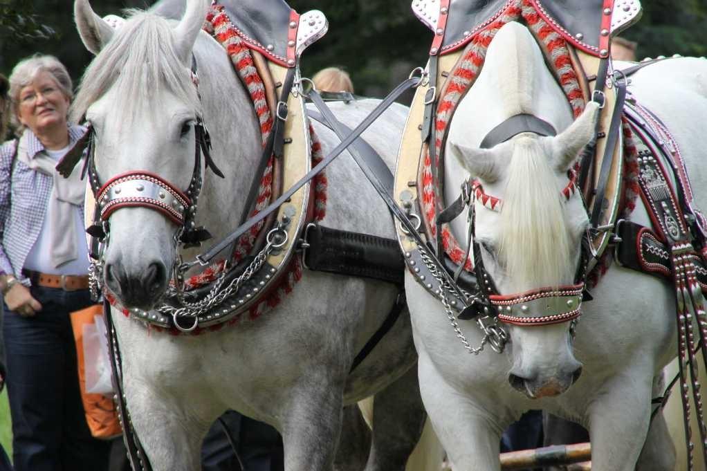 218_0767_19 Sept 2010_Gartenfest_Percheron-Pferde