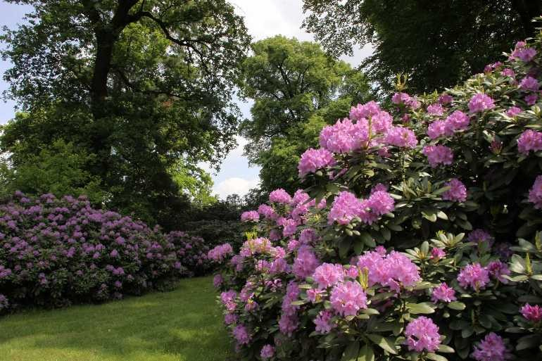 0041_19 Mai 2012_Rhododendron_Blüte
