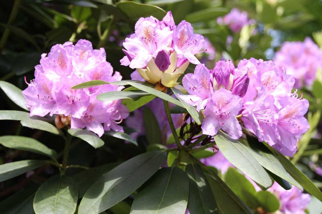 0249_19 Mai 2012_Rhododendron_Blüte