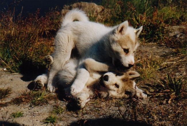Junge Schlittenhunde in Sisimuit / Grönland