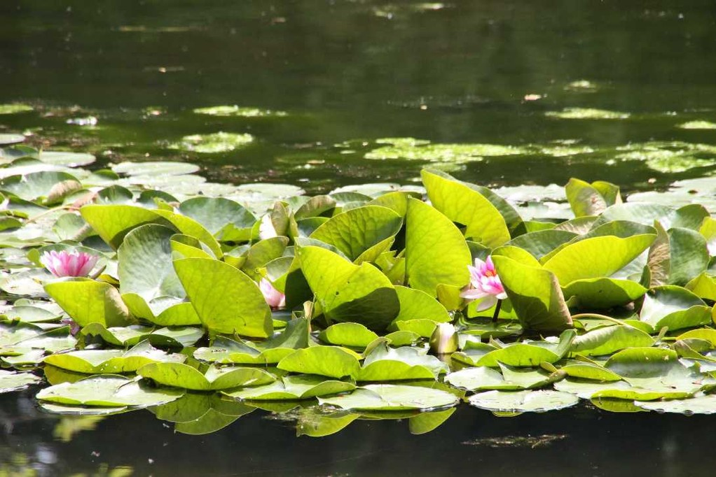 0156_19 Mai 2012_Rhododendron_Teich_Seerose