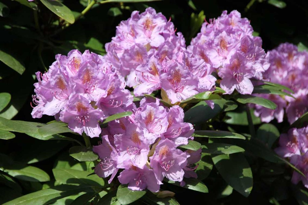 0250_19 Mai 2012_Rhododendron_Blüte