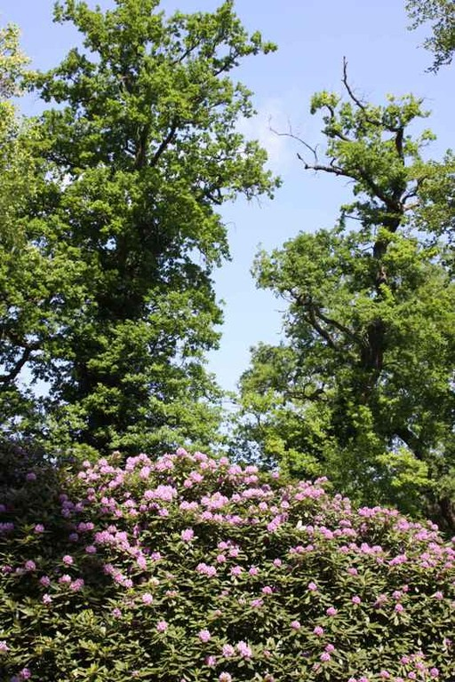 0050_21 Mai 2011_Rhododendronblüte