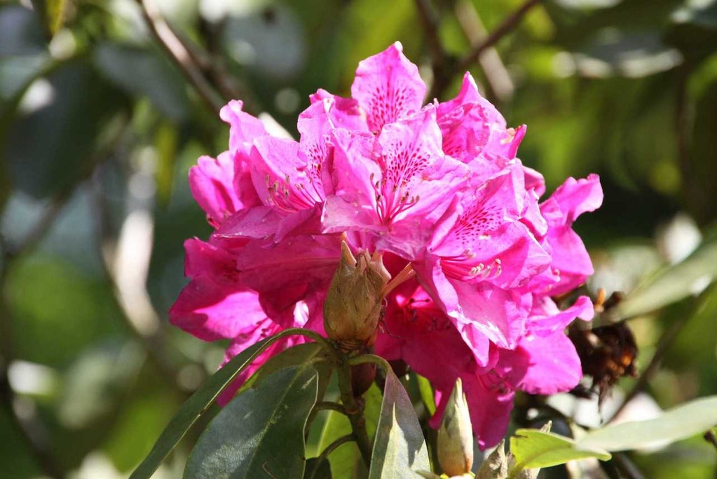 0217_19 Mai 2012_Rhododendron_Blüte