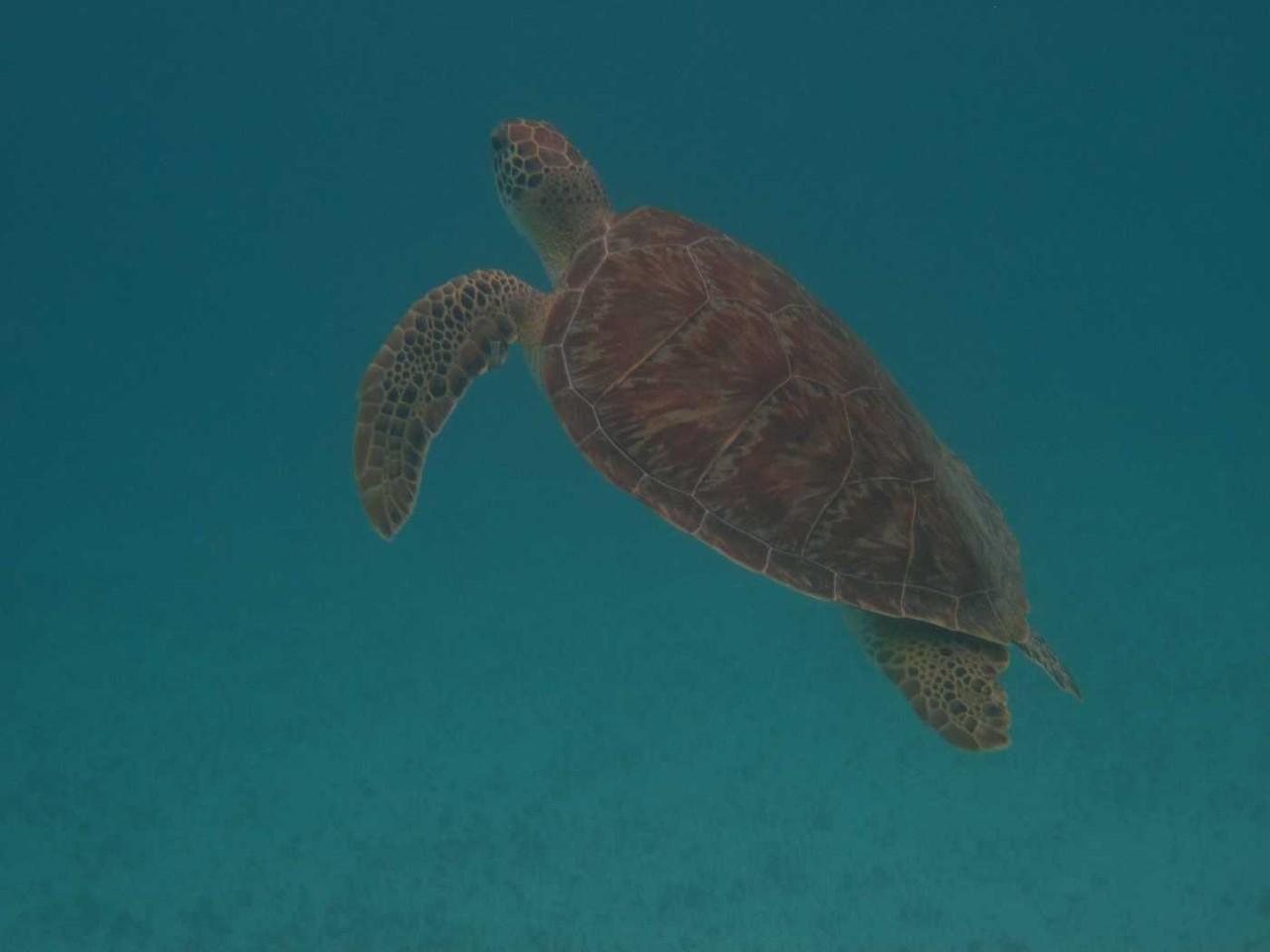 3236_03 DEZ 2013_Tobago Cays_Schildkröte