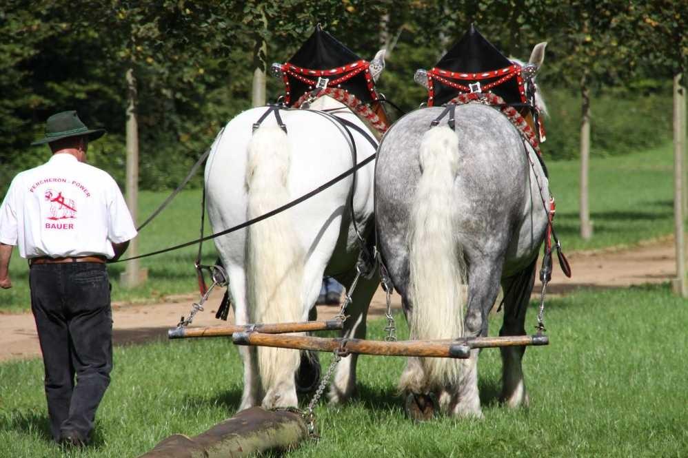 163_0151_17 Sept 2010_Gartenfest_Percheron-Pferde