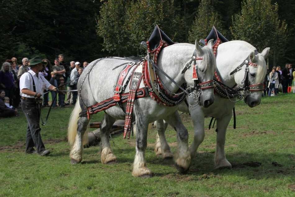 205_0738_19 Sept 2010_Gartenfest_Percheron-Pferde