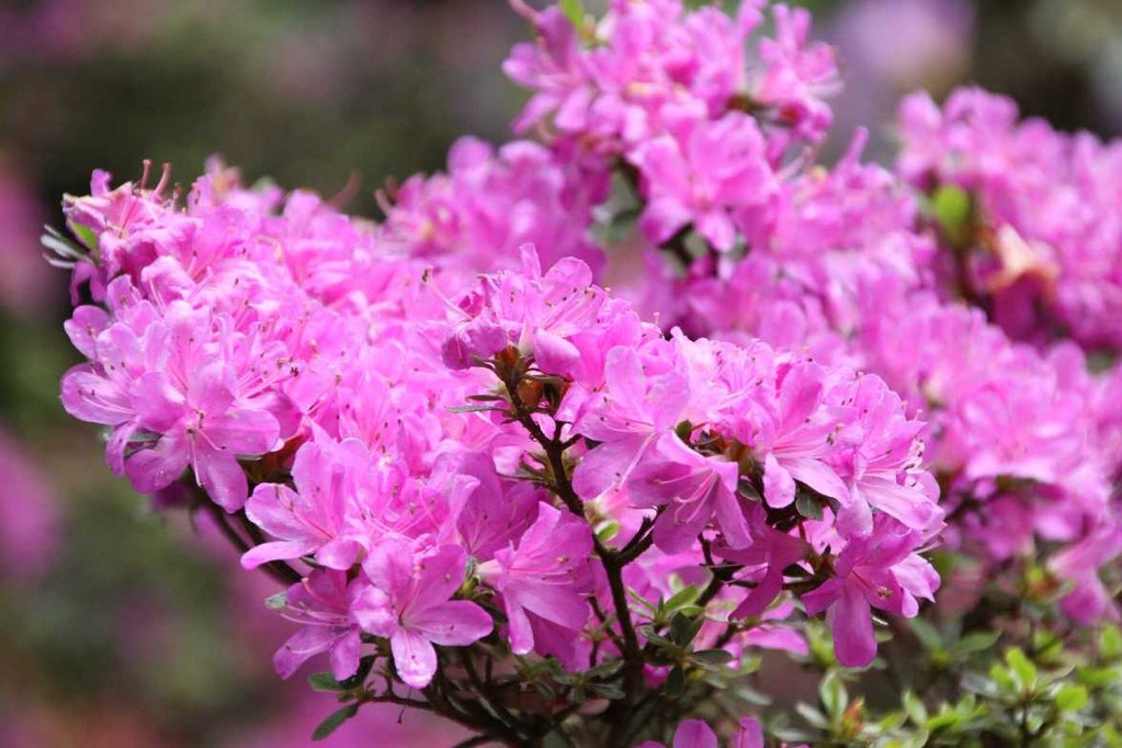 0056_19 Mai 2012_Rhododendron_Blüte
