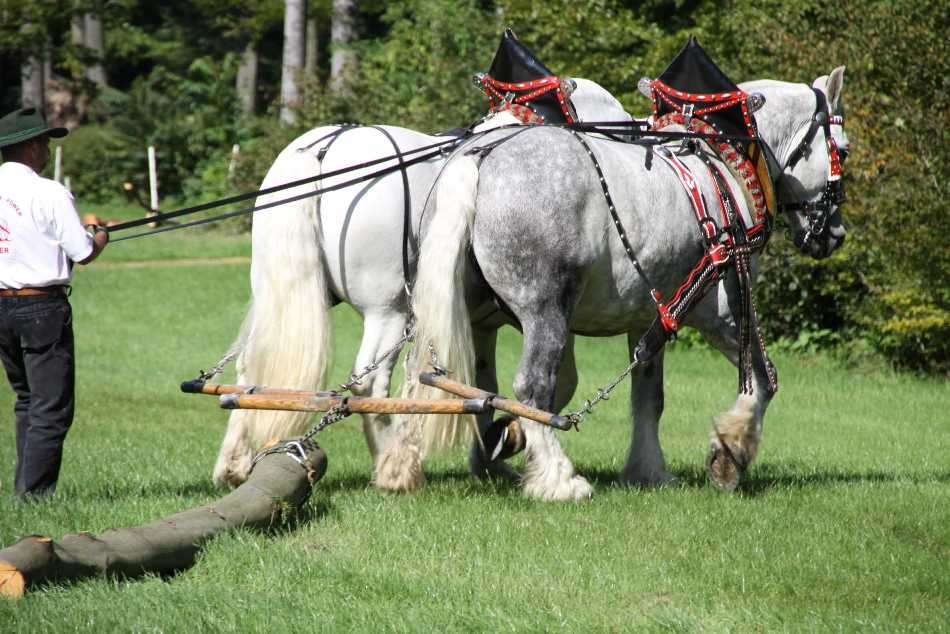 189_0362_17 Sept 2010_Gartenfest_Percheron-Pferde