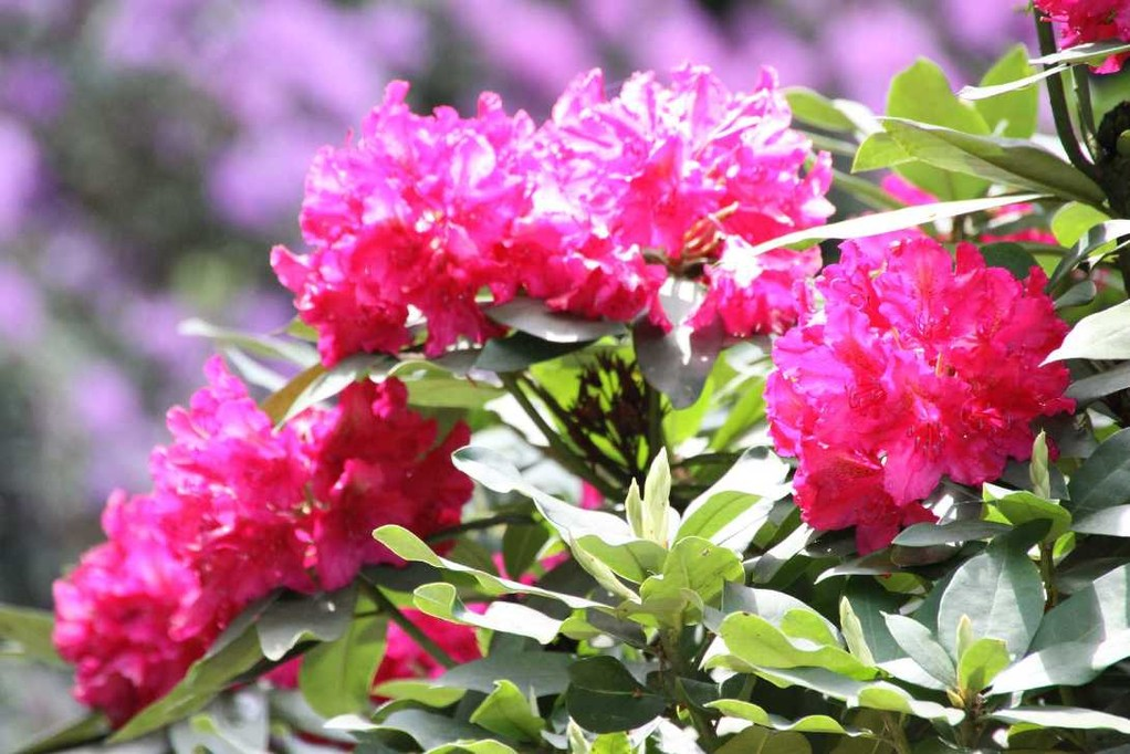 0046_19 Mai 2012_Rhododendron_Blüte