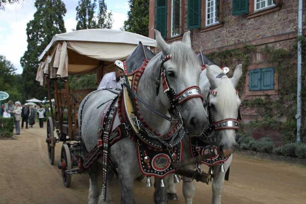 170_0269_17 Sept 2010_Gartenfest_Schloss Wolfsgarten_Percheron-Pferde