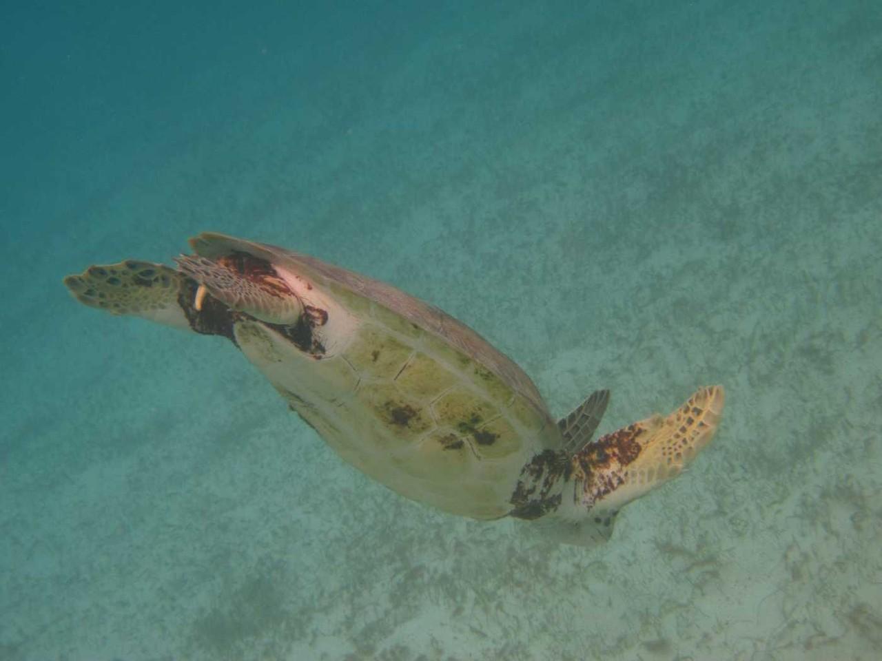 3232_03 DEZ 2013_Tobago Cays_Schildkröte