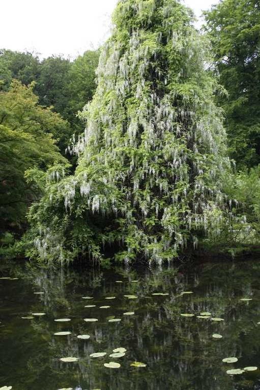 0085_19 Mai 2012_Rhododendron_Schlosspark_Teich