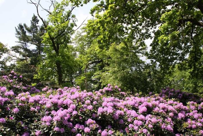 0012_19 Mai 2012_Rhododendron_Blüte