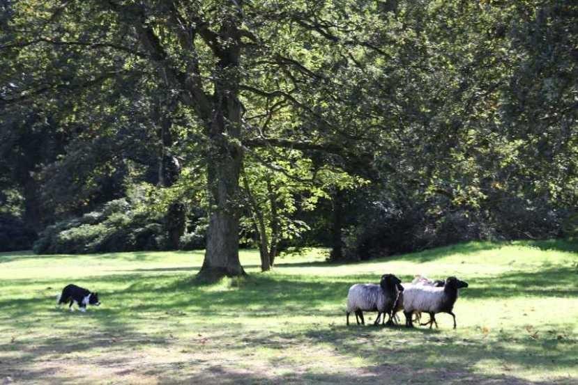 226_0391_17 Sept 2010_Gartenfest_Border-Collies