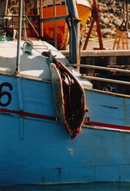 erlegte Robbe auf einem Boot vor Ilulissat / Grönland