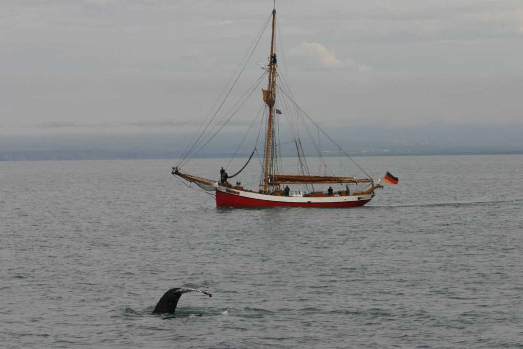Bild 0719 - Island / Husavik, Buckelwal vor der Dagmar von Aaen