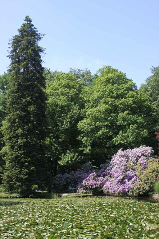 0116_21 Mai 2011_Rhododendronblüte