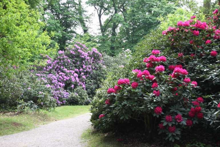 0048_19 Mai 2012_Rhododendron_Blüte