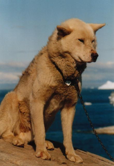 Schlittenhund in Ilulissat / Grönland