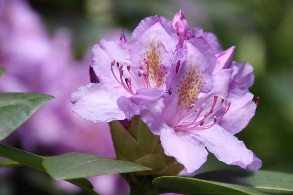 0253_19 Mai 2012_Rhododendron_Blüte