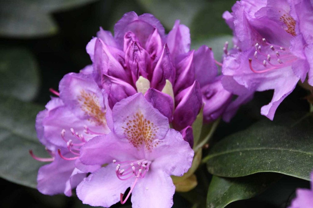 0066_19 Mai 2012_Rhododendron_Blüte