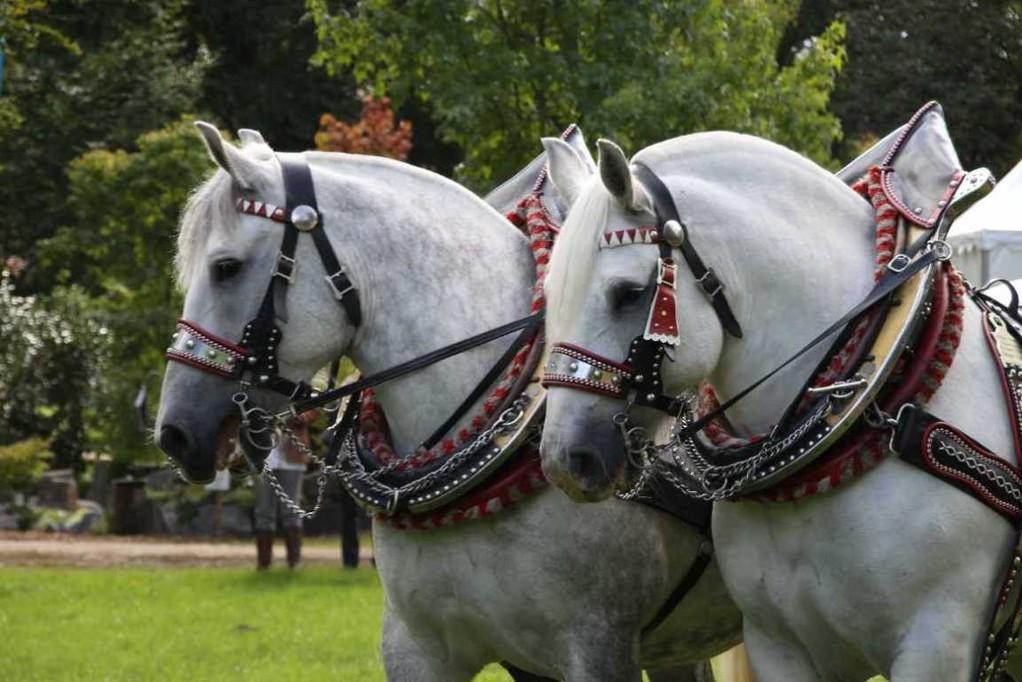 147_0124_17 Sept 2010_Gartenfest_Percheron-Pferde