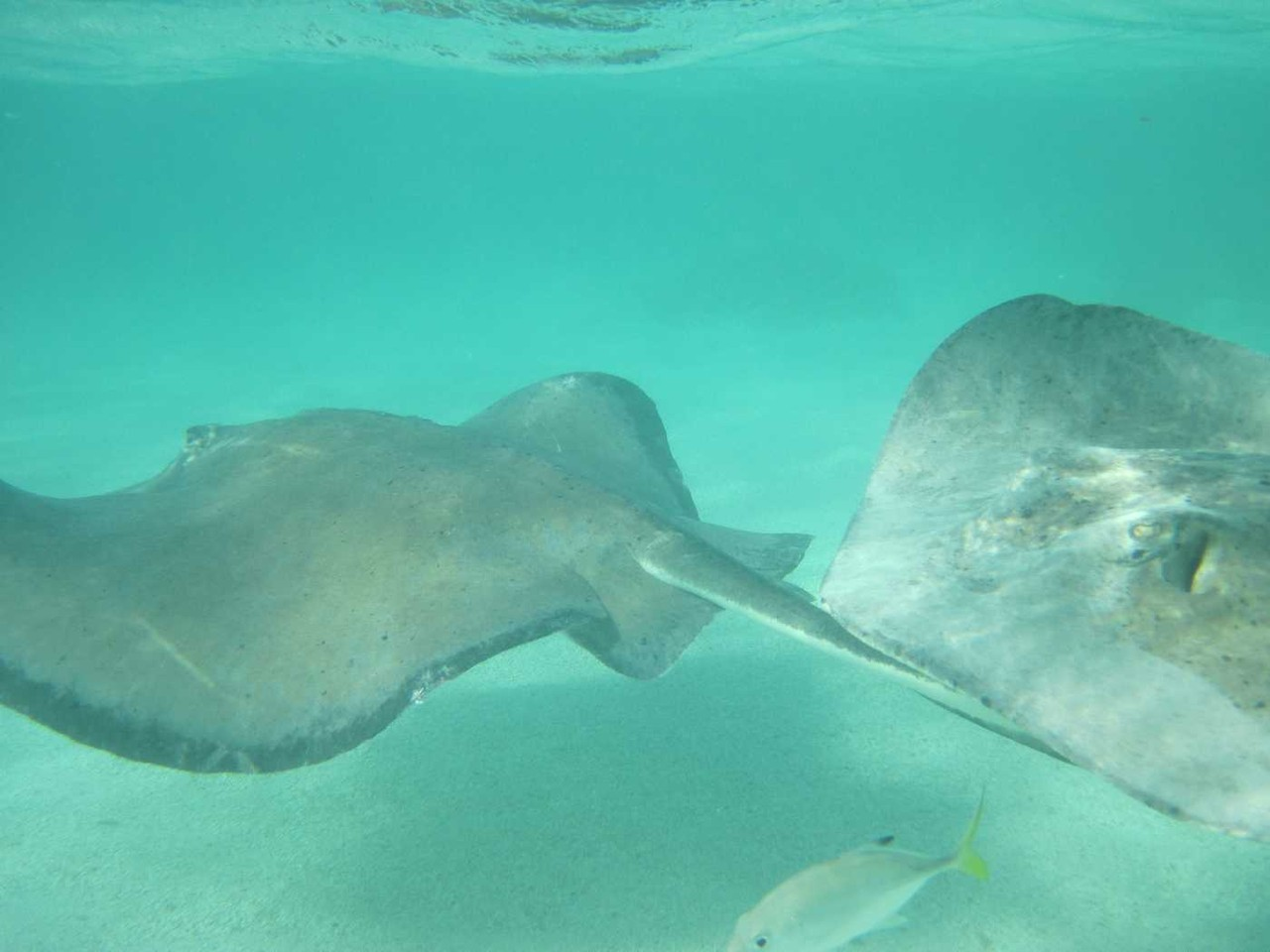 1272_26 NOV 2013_Antigua_Stingray City