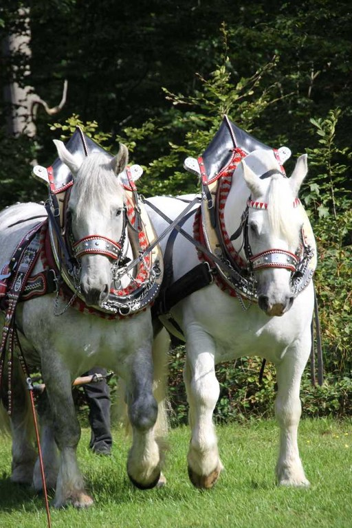 145_0121_17 Sept 2010_Gartenfest_Percheron-Pferde