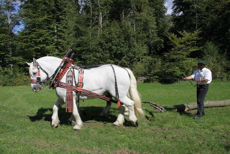 187_0357_17 Sept 2010_Gartenfest_Percheron-Pferde