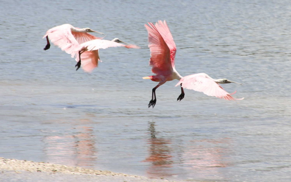 1791a_14 Juni 2010_Everglades_City_Bootstour_Roseate Spoonbill
