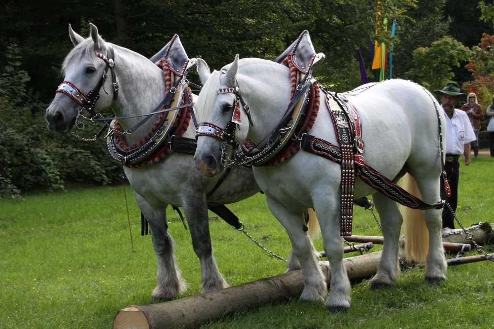 151_0128_17 Sept 2010_Gartenfest_Percheron-Pferde