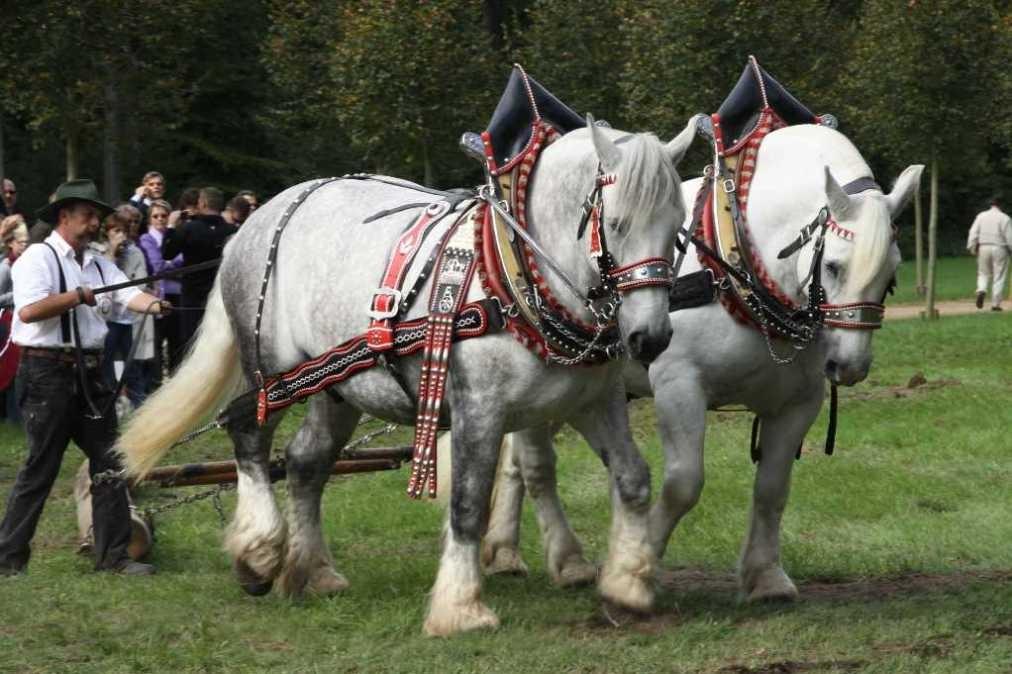 210_0749_19 Sept 2010_Gartenfest_Percheron-Pferde
