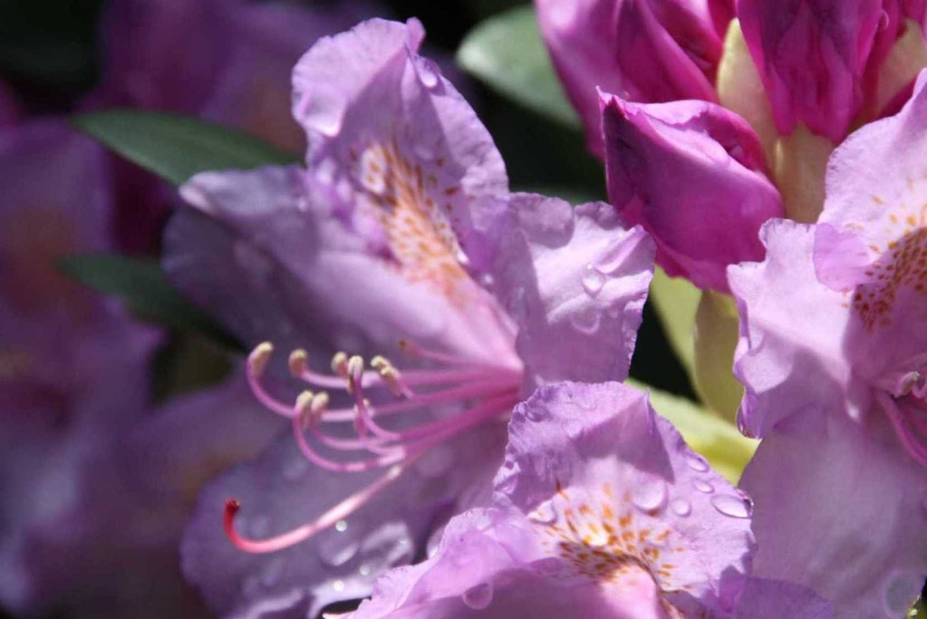 0035_19 Mai 2012_Rhododendron_Blüte_Regentropfen