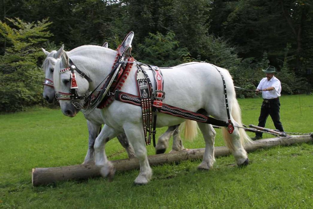 152_0133_17 Sept 2010_Gartenfest_Percheron-Pferde