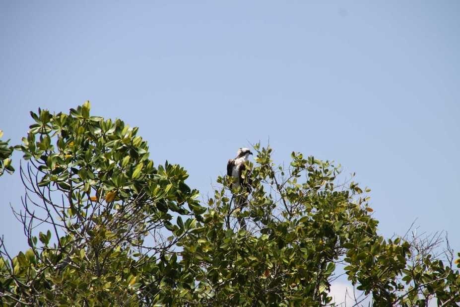1796_14 Juni 2010_Everglades_City_Bootstour_Osprey