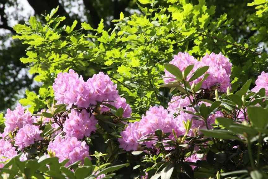 0241_19 Mai 2012_Rhododendron_Blüte