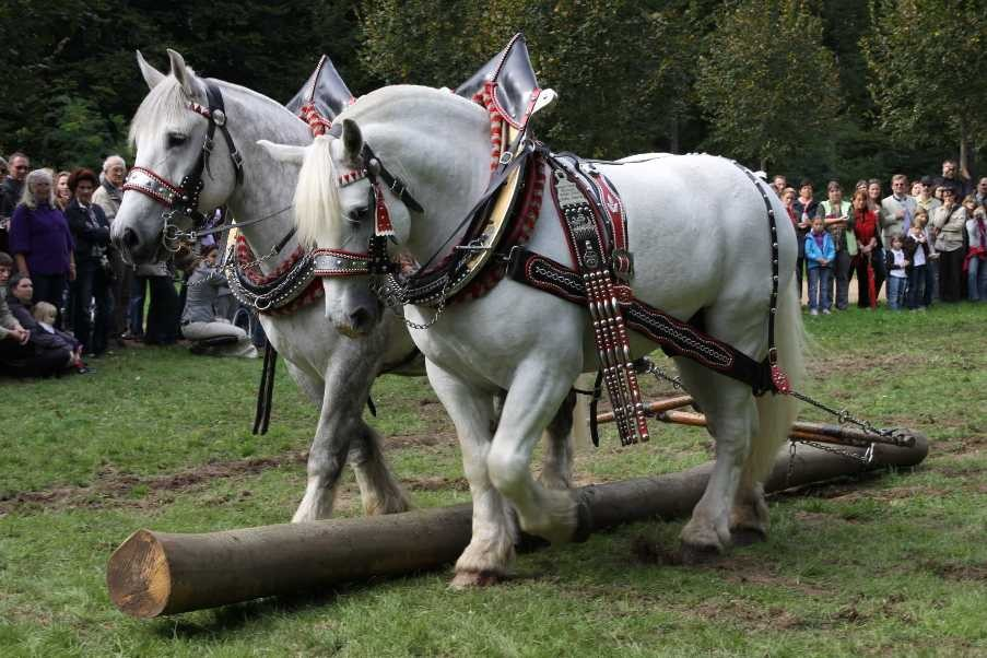 216_0761_19 Sept 2010_Gartenfest_Percheron-Pferde