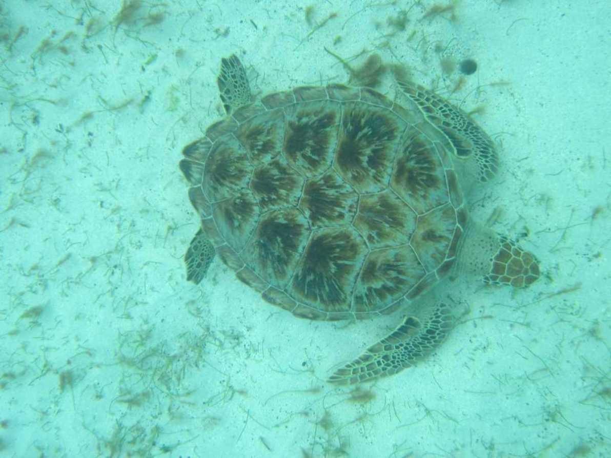 3227_03 DEZ 2013_Tobago Cays_Schildkröte