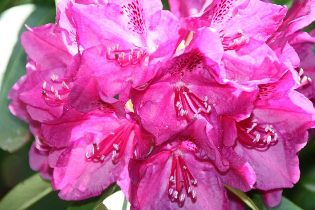 0218_19 Mai 2012_Rhododendron_Blüte