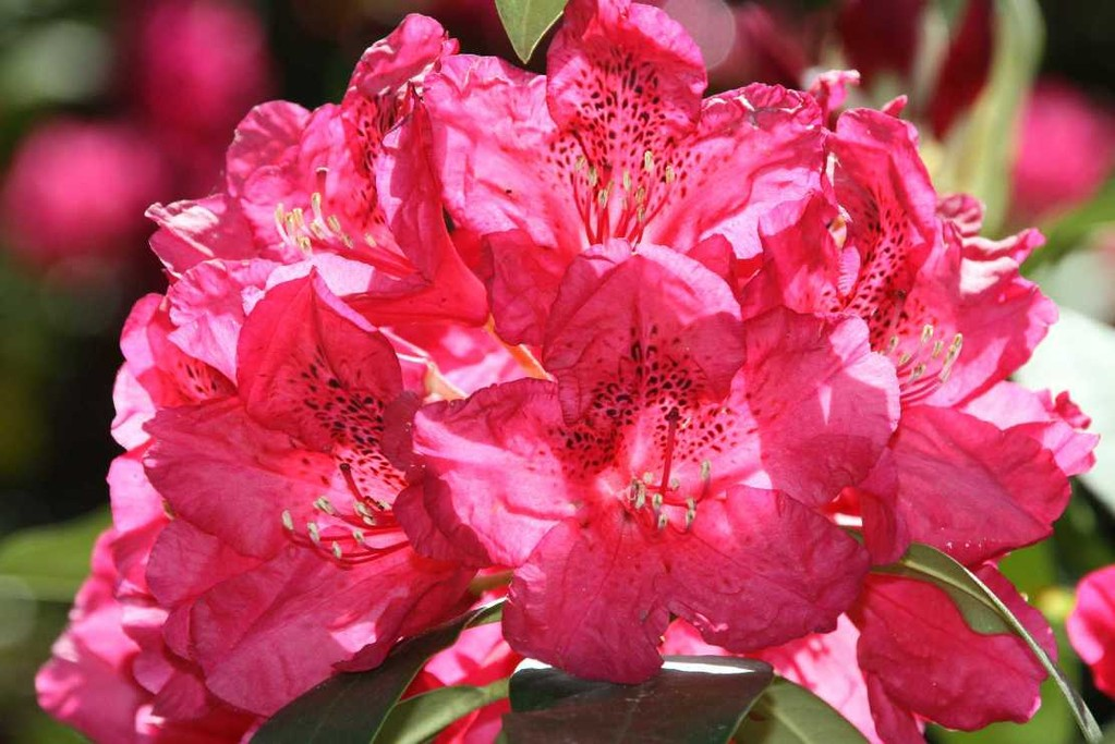 0213_19 Mai 2012_Rhododendron_Blüte