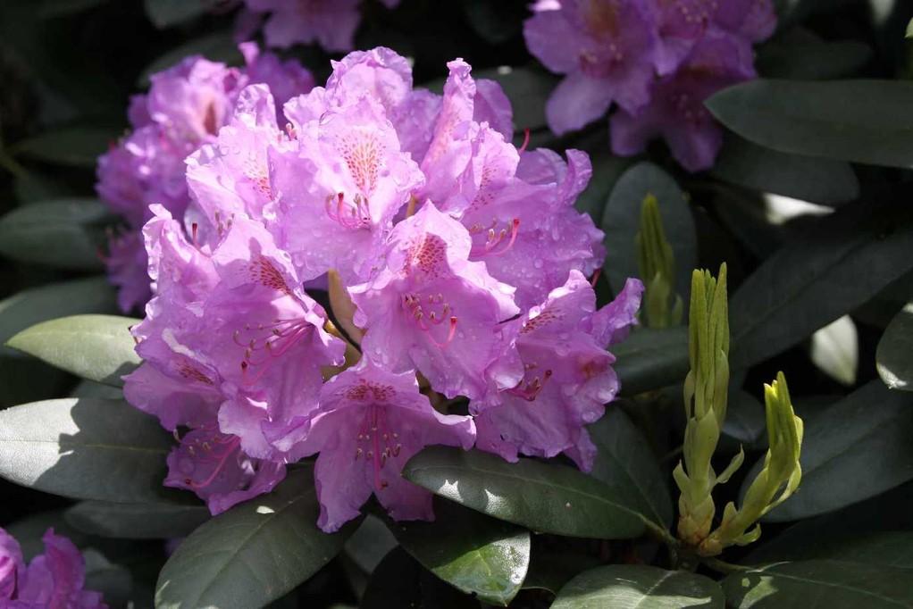 0039_19 Mai 2012_Rhododendron_Blüte_Regentropfen