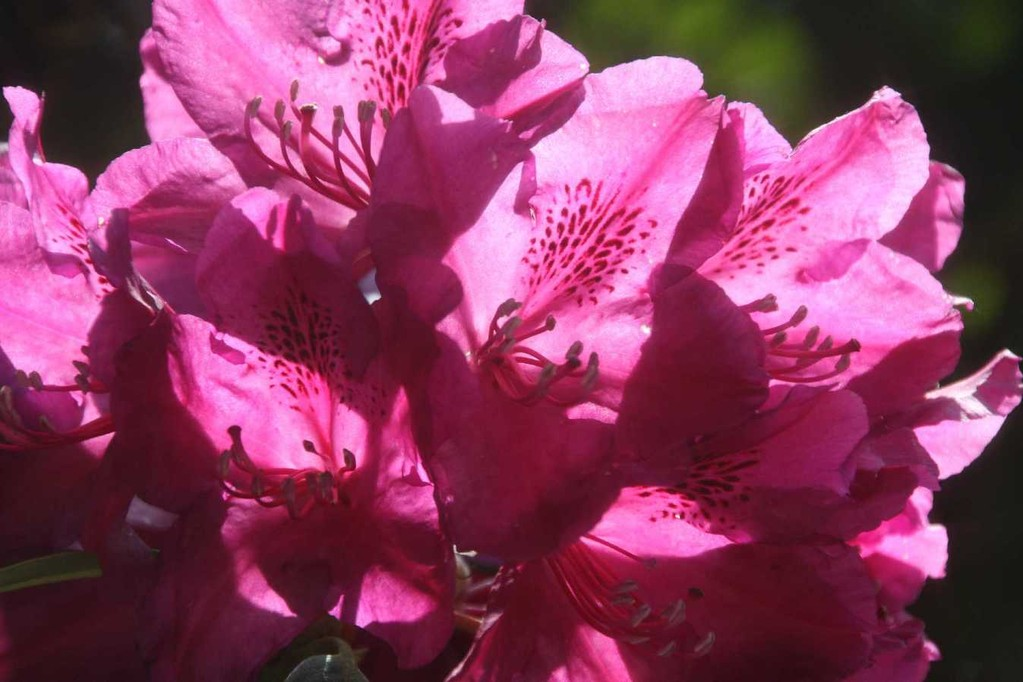 0223_19 Mai 2012_Rhododendron_Blüte