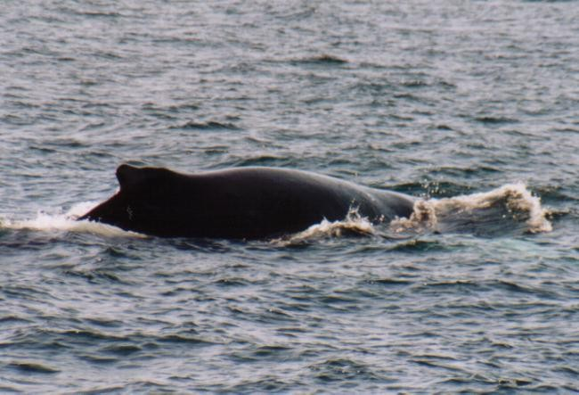 Buckelwal vor Nuuk / Grönland