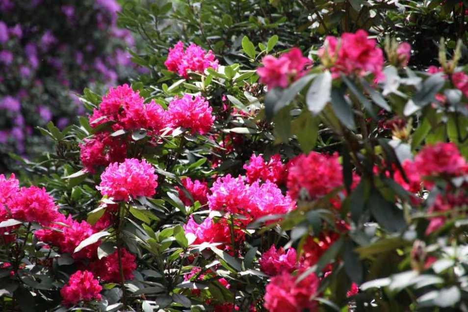 0045_19 Mai 2012_Rhododendron_Blüte