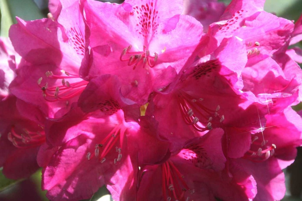 0221_19 Mai 2012_Rhododendron_Blüte_Starfilter