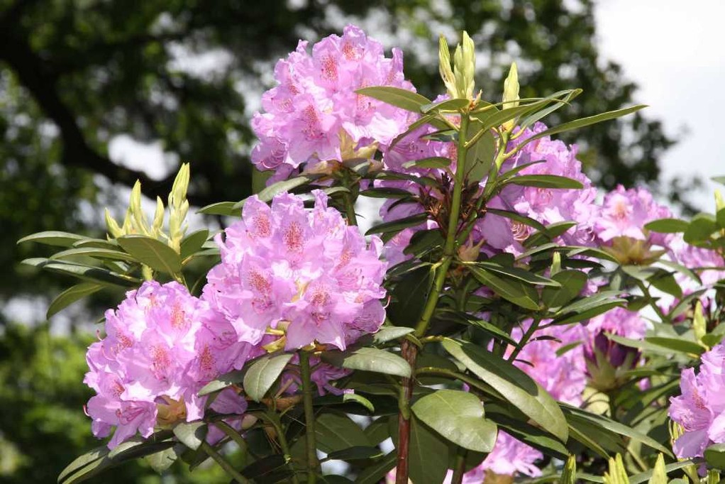 0208_19 Mai 2012_Rhododendron_Blüte
