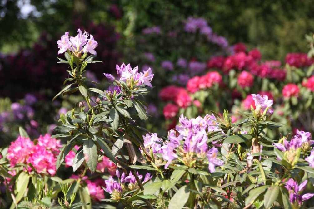 0265_19 Mai 2012_Rhododendron_Blüte